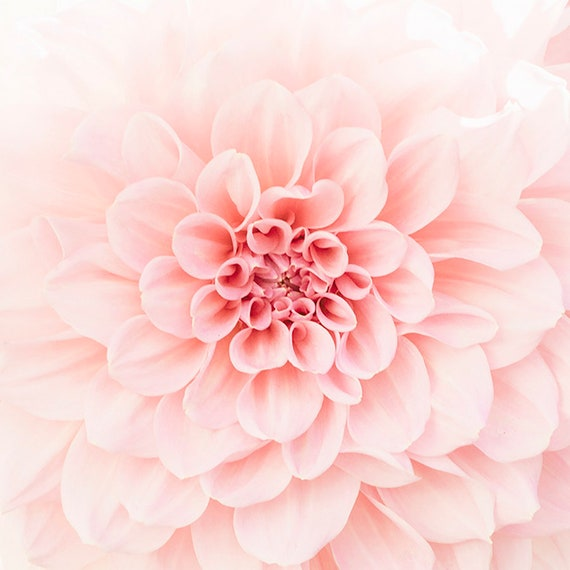 Blush Dahlia, Dahlia Flower Photo, Soft Peach Floral, Flower Print, Botanical Art, Dahlia Petals, Close Up Flower Photography, Home Decor