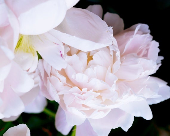 Blush Peony, Still Life Print, Nature, Flower Art, Peonies Print, Home Decor, Pastel Art, Girls Room Photography, Botanical Photo