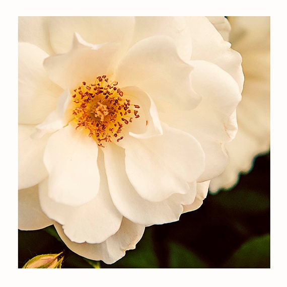 Nature Photography, Original Photography, Wall Art, Cindy Taylor, Home Decor, Ivory, Pale Cream, Cottage Style , Shabby Chic, Flower Print