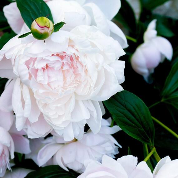 Blush Peony, Still Life Print, Nature, Flower Art, Peonies Print, Home Decor, Pastel Art, Girls Room Photography, Botanical Photo