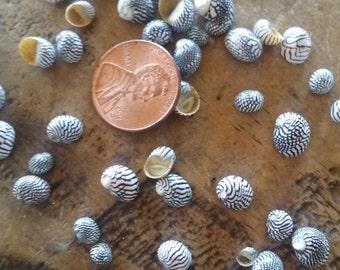 Super Tiny Mini Zebra Nerita Nerites Seashells Multi Black & White Stripped Round Snail Sea Shells Coastal Crafting LOW STOCK Limited Supply