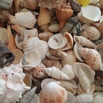 Assortment Lot Natural Seashell Mix Bundle by pound Nature's Own Sea Shells Beach Weddings Crafting DIY Decorating Jar Fillers SHIPS FREE