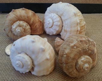 Whelk Conch Shells Rapa Rapana Rapiformis Hermit Crab Shell Large Pear Opening Lightweight Tan Brown Murex Rock Seashell Spiral Top