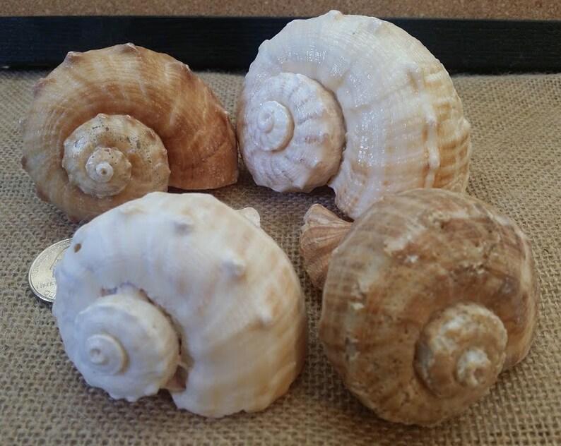 Whelk Conch Shells Rapa Rapana Rapiformis Hermit Crab Shell image 0