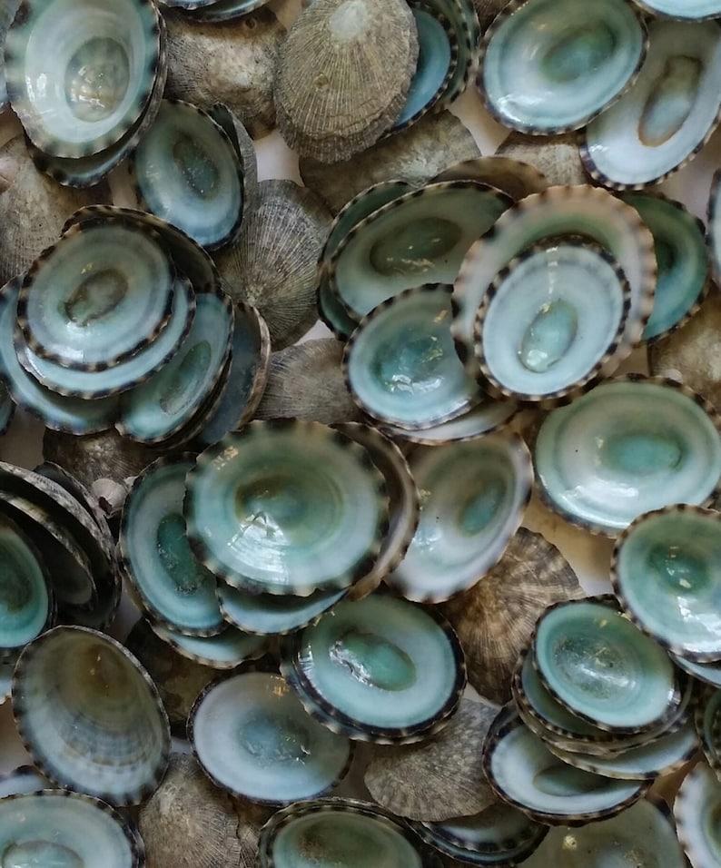 Small Green Limpet Shells Seashells Natural Aqua Blue Grey image 0
