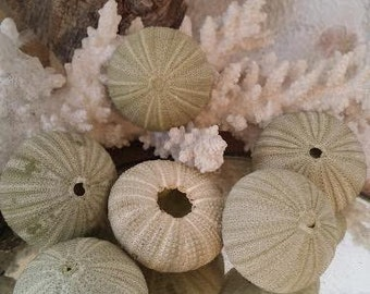 Green Sea Urchin Shells Loose Sea Life Supplies Coastal Decor Arts Crafts Urchin Pastel Seashells Beach Decorating DIY arrangements