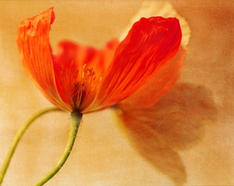 Poppies - 8x10 Fine Art Photograph