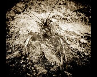 Regal Crawfish Portrait in Sepia by J. Ensley