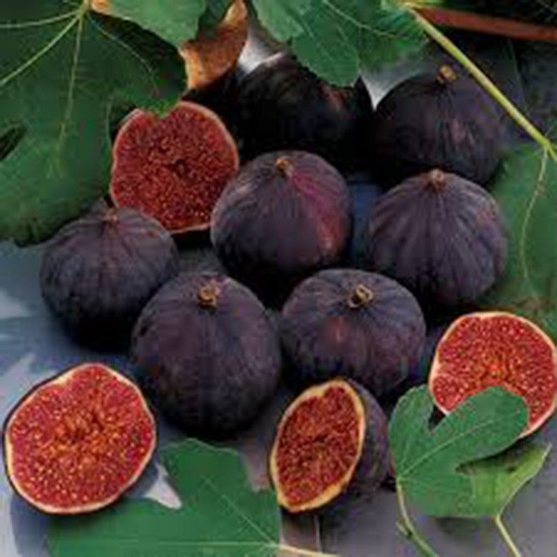 Pictures Of Figs And Fig Trees