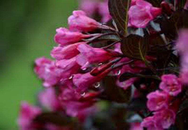 Weigela Wine Roses Florida Weigela3 Quart Live Plant Etsy
