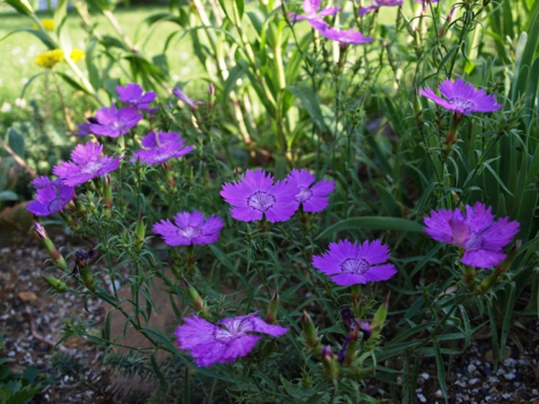 Dianthus Siberian Blues 1 Year Live Plants Organic Etsy