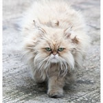 Parisian Persian - cat green eyes beige long-haired fluffy whiskers kitty cat photography 8x10, 11x14, 16x20 - Original Fine Art Photograph