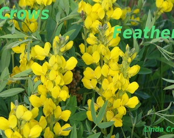Yellow wild Snapdragon flower, Nature digital photography, A place of Sunshine, single download, unique home or office decor