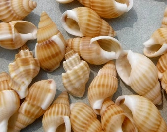 Small Tan Seashells - 100 Shells