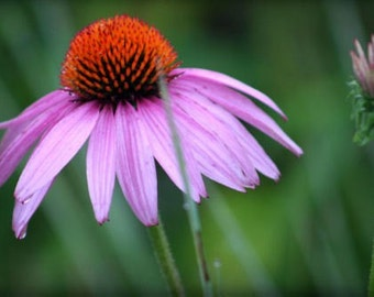 "ACEO photograph, flower mini print, pink, green -- ""Misty Morning"" (2.5 x 3.5 inches)"