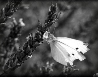 "ACEO photograph, black and white, butterfly, mini print -- ""Lavender Lunch"" (2.5 x 3.5 inches)"