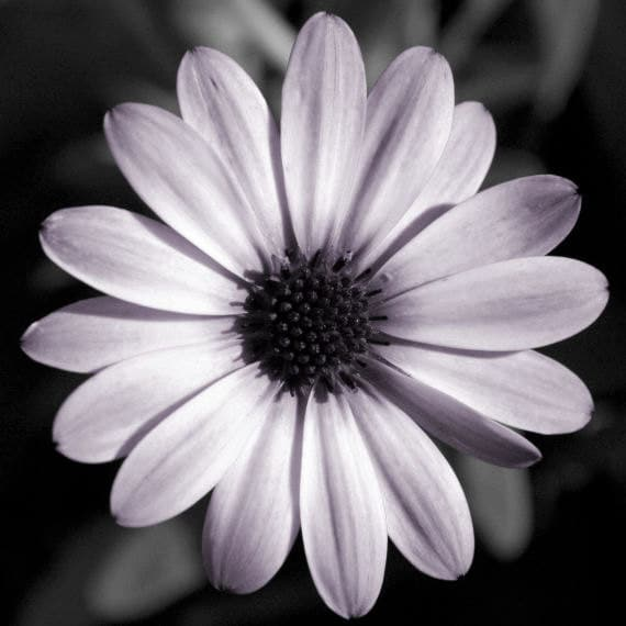 Floral Black And Grey Nature Tattoo: Flower Photo Purple Wall Art Nature Symmetry Home Decor