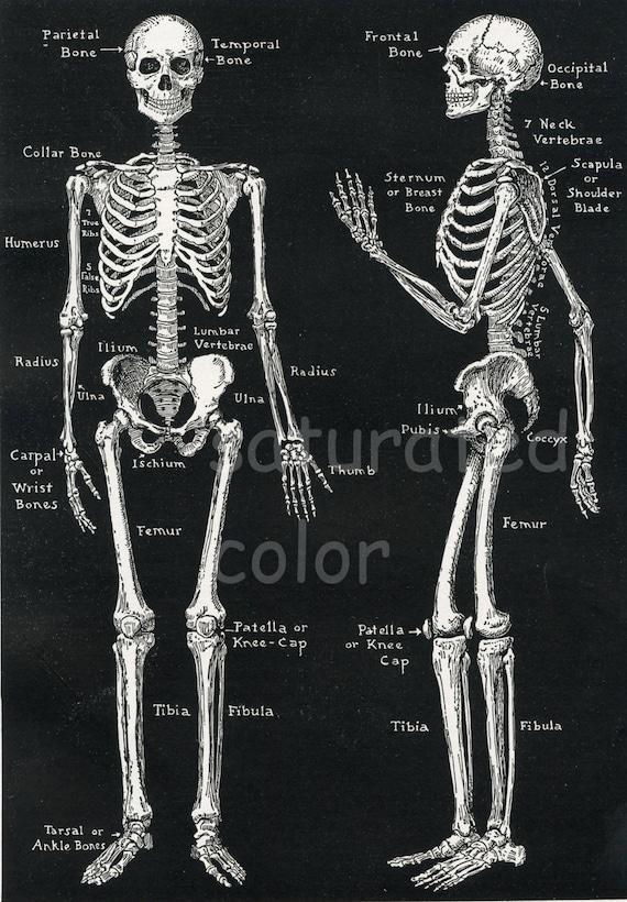 Skelett Anatomie Vintage 1940er Jahren hochauflösenden | Etsy