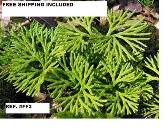 Ground Cedar Evergreen Ground Cover Fern 10 Feet Starter Etsy