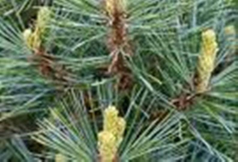 Wedding Favors 45 Year Round Free Shipping Evergreen Pine Starter Seedlings Bundle DIY
