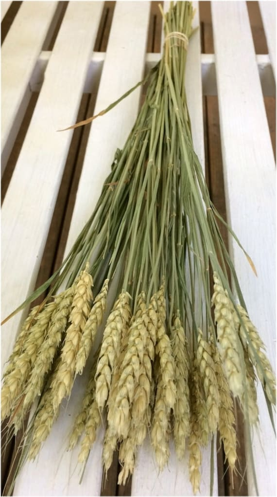 """NATURAL DRIED OAT 100 STEMS COUNTRY HARVEST DECOR FLORAL SUPPLIES 20/"""" BLEACHED"""