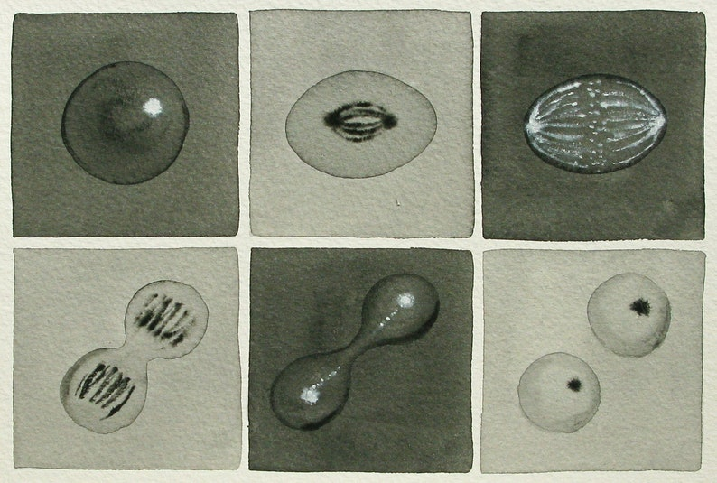 Black and White Mitosis   original watercolor  cell cycle image 0