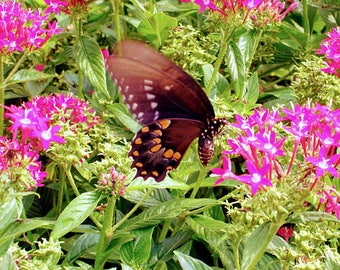 Butterfly Resting at Pink Flowers in the Garden in Spring: Photography Print, Art Print, Wall Decor, Home Decor Summer Plants Nature Insect