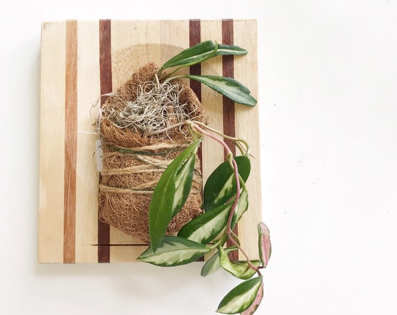 variegated hoya plant wall hanging mount | gift for plant lover