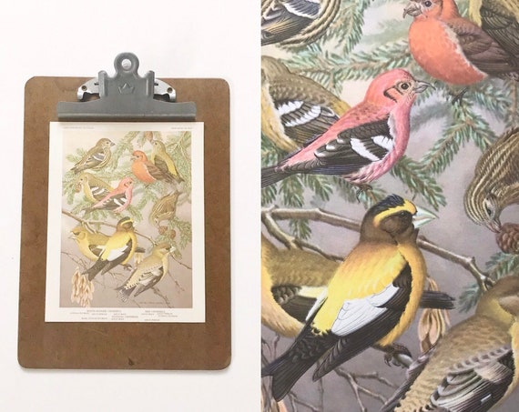 vintage bird portrait illustration in color prints | book plates of red crossbill birds wall art
