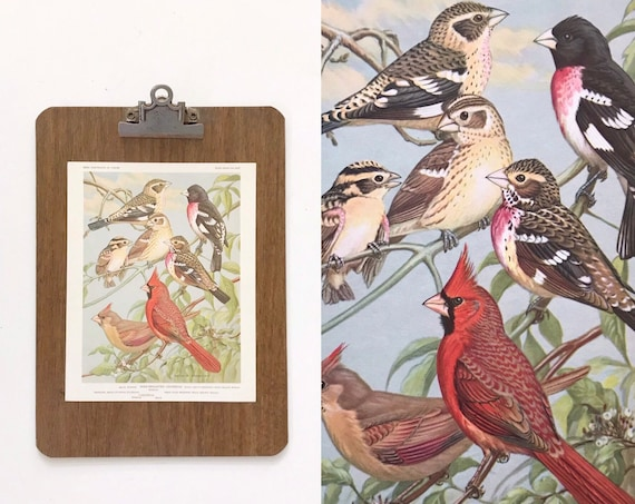 vintage red bird portrait illustration in color prints | book plates of rose breated grosbeak wall art