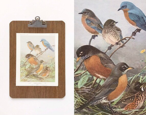 vintage blue bird portrait illustration in color prints | book plates of robin wall art