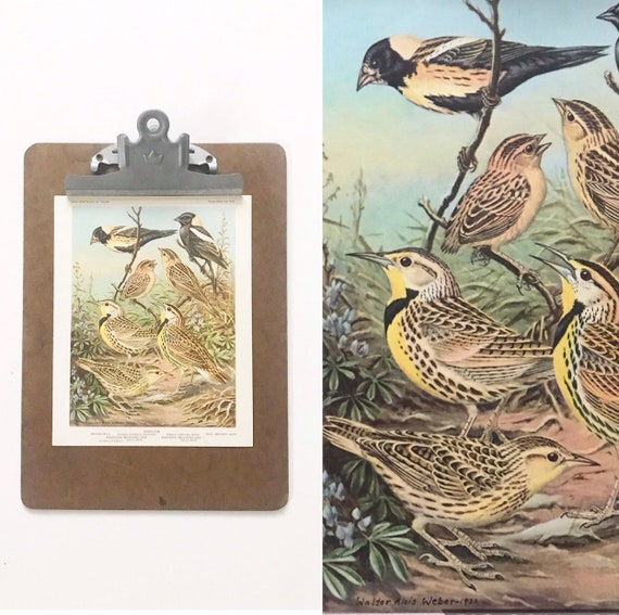 vintage bird portrait illustration in color prints | book plates of meadowlarks blackbirds allies wall art