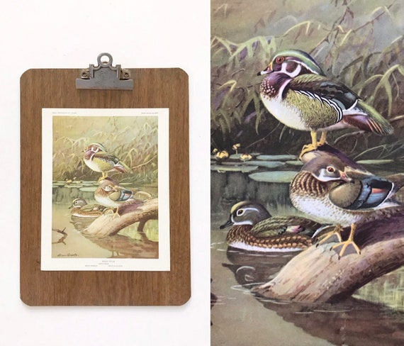 vintage duck bird portrait illustration in color prints | book plates of wood duck wall art