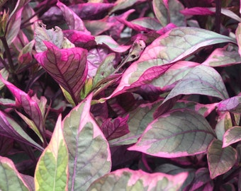 10 to 15 inches tall rooted plant Partytime' (Alternanthera) Brazilian Red Hots