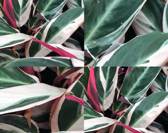 Variegated Tri Color Ginger Tropical Plant Stromanthe sanguinea Multi-Color Foliage Red Green White Garden Houseplant Stromanthe 'Triostar'