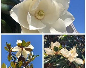 10 Magnolia Cuttings - grow your own Southern Magnolia Big Laurel Evergreen Magnolia Bull Bay large tree Magnolia Grandiflora