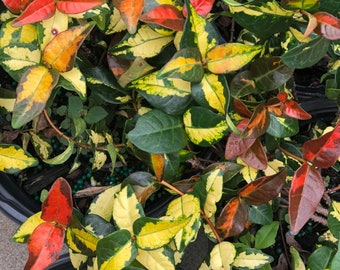 One fully rooted Unique, Rare Asiatic Jasmine, red yellow green live plants.Beautiful sinensis Bush