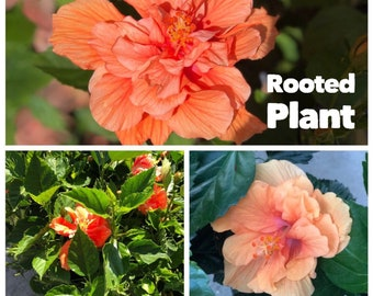 One fully rooted 18 inches Unique, Rare Tropical Hibiscus Double Bloom Ruffle Flowers. Orange rooted plant. Beautiful Flowers Sinensis Bush