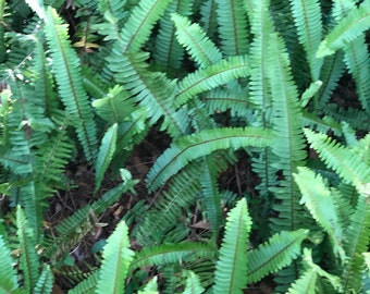 Live Boston fern 20 rooted stems 12 to 15 inches tall nephrolepsis exalta. Bostoniensis air purifing plant pet safe non shedding