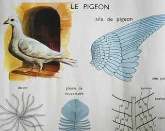 Pigeon Hen Double sided Poster-Anatomy Poster- French School Chart- 1950s Editions Rossignol