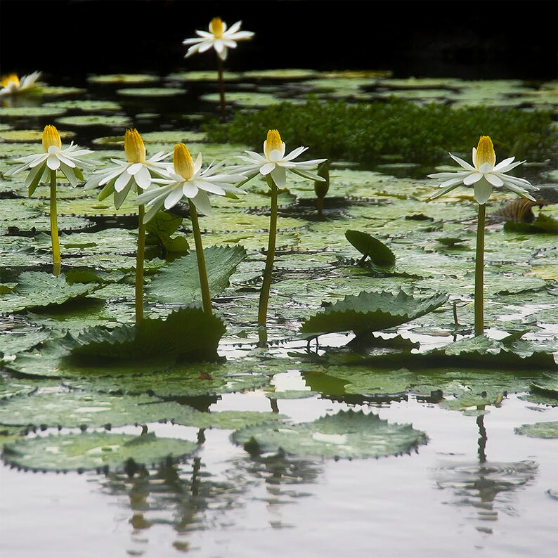 Hawaii  Water Garden  Nature photo  Water Lily Lily Pad  image 0