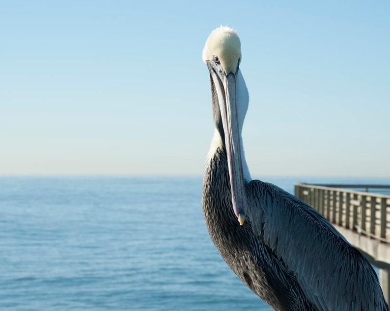 California Pelican Bird Print Nature Photography Bird Wall image 0