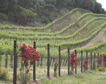 Napa Valley photography - Among the Vines - Landscape, Vineyard - Fine art photography - 8x12, 8x10, 8x8