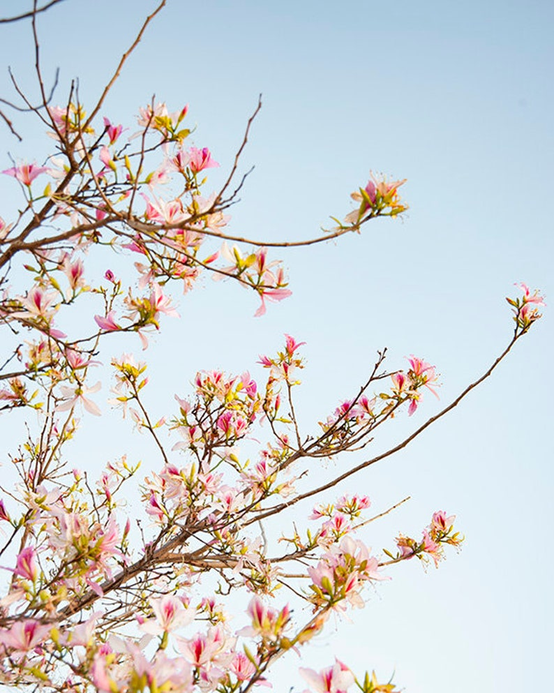 Song of the Cherry Blossom  Nature Photography  Flower photo image 0