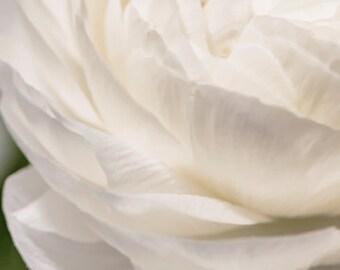 Flower photo - Bianco astratto - Fine art flower photograph - Nature - Ranunculus beauty - Botanical - Vintage Chic - pure white