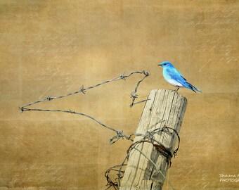 Bluebird 8x12 Fine Art Photo