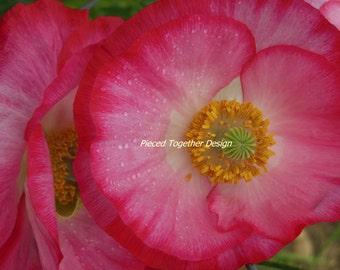 5 x 7 Photograph - Pink Poppy
