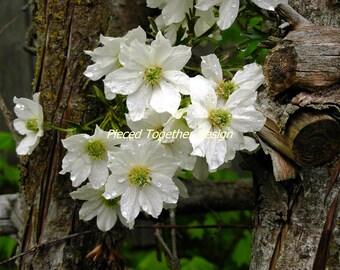 5 x 7 Photograph - Evergreen Clemantis