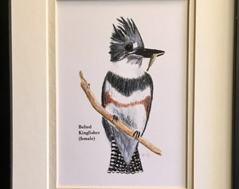 BELTED KINGFISHER Watercolor Pencil Drawing Painting Matted Print