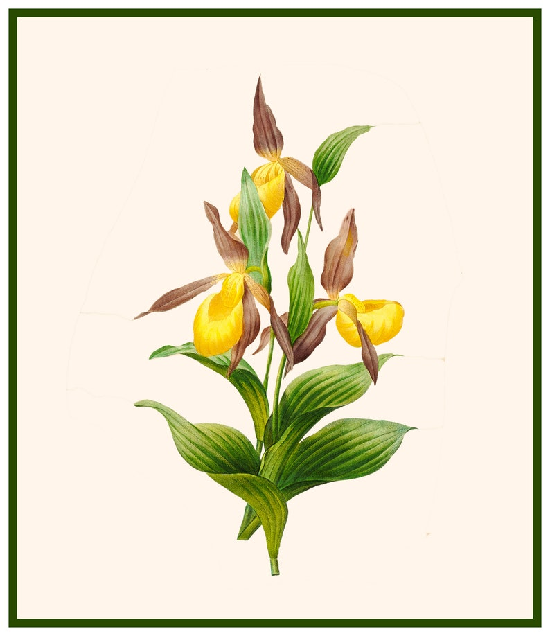 Lady Slipper Orchid Flower Inspired by an Illustration by image 0